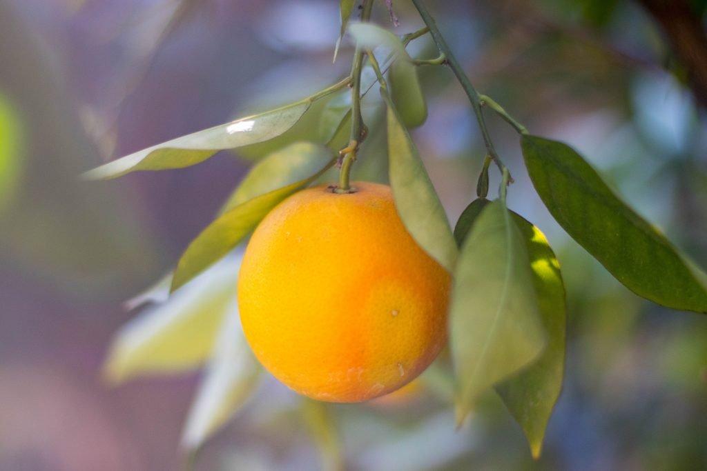 Citrus Essential Oils are Cold Pressed and Pesticide Intensive